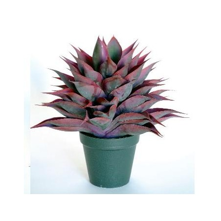 Agave Sp 2241*